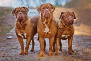 big dog breeds Dogue de Bordeaux